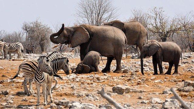 sloni a zebry v Namibii